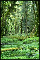 Verdant rain forest, Quinault. Olympic National Park, Washington, USA. (color)