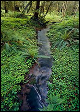Creek in Quinault rain forest. Olympic National Park, Washington, USA.