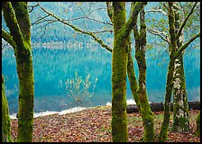 Mossy trees in late autumn and turquoise reflections, Crescent Lake. Olympic National Park, Washington, USA. (color)