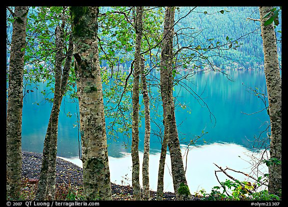 Trees with textured trunks and green leaves on shore of Crescent Lake. Olympic National Park (color)