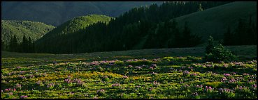 Shadows and wildflowers, late afternoon. Olympic National Park (Panoramic color)