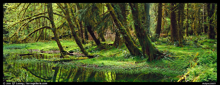 Panoramic Picture/Photo: Rainforest pond. Olympic National ...