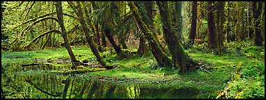 Rainforest pond. Olympic National Park (Panoramic color)
