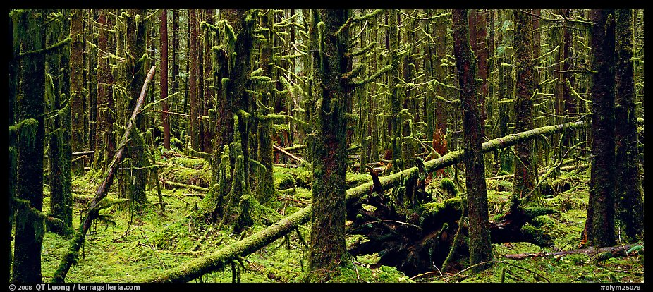 Mossy rainforest. Olympic National Park (color)