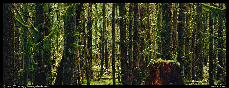Temperate rainforest. Olympic National Park (color)