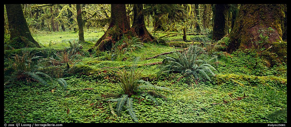 Panoramic Picture Photo Rainforest Forest Floor Olympic National