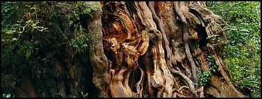 Ancient Cedar trunk. Olympic National Park (Panoramic color)