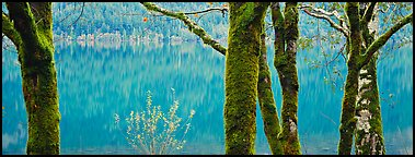 Mossy trees and turquoise lake. Olympic National Park (Panoramic color)