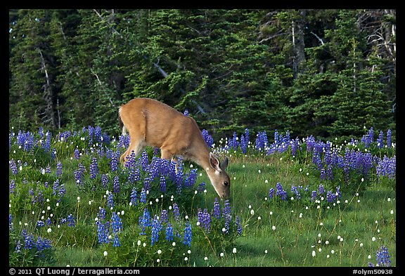 Deer grazing amongst lupine. Olympic National Park (color)