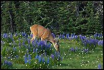 Deer grazing amongst lupine. Olympic National Park, Washington, USA. (color)