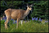 Deer in meadow with lupine. Olympic National Park, Washington, USA. (color)