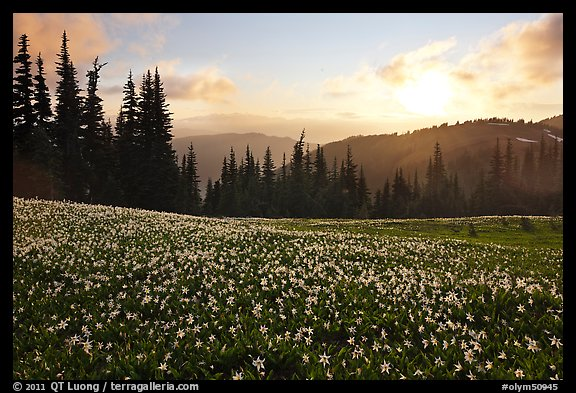 Avalanche lilies at sunset. Olympic National Park (color)