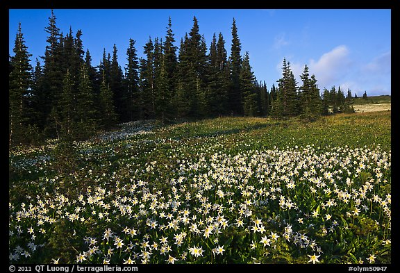 Avalanche lilies in meadow. Olympic National Park (color)
