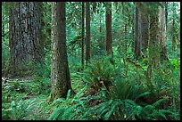 Ferns and trees, Hoh rain forest. Olympic National Park, Washington, USA. (color)