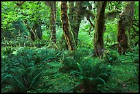 Grove of maple trees covered with epiphytic spikemoss. Olympic National Park, Washington, USA. (color)