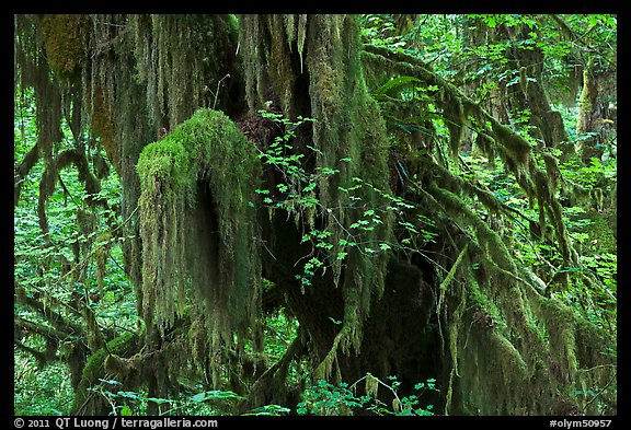 Hall of Mosses,  Hoh rain forest. Olympic National Park (color)
