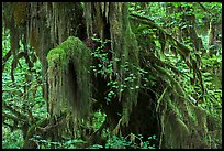 Hall of Mosses,  Hoh rain forest. Olympic National Park, Washington, USA. (color)