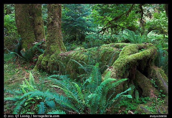 Tree growing on fallen tree, Hoh rainforest. Olympic National Park (color)