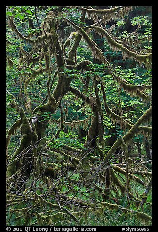 Trees and mosses, Hoh rainforest. Olympic National Park (color)