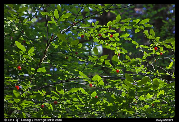Branches and berries, Quinault rain forest. Olympic National Park (color)