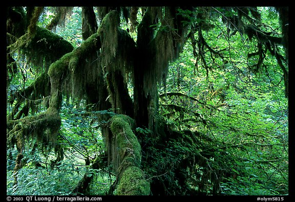 Moss-covered old tree in Hoh rainforest. Olympic National Park (color)