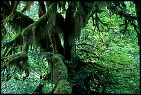 Moss-covered old tree in Hoh rainforest. Olympic National Park, Washington, USA. (color)