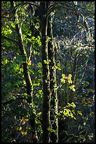 Backlit maple trees, July Creek. Olympic National Park ( color)