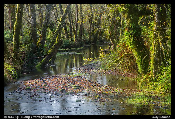 Creek, Maple Glades, Quinault. Olympic National Park (color)