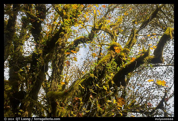 Looking up moss-covered big leaf maple tree in autumn. Olympic National Park (color)