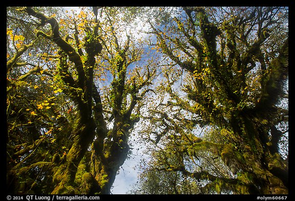 Looking up moss-covered big leaf maple trees in autumn. Olympic National Park (color)