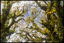 Looking up moss-covered branches and yellow leaves of big leaf maple trees. Olympic National Park ( color)
