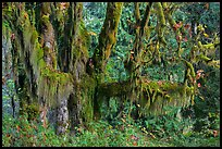 Draping Selaginella moss over big leaf maple, Maple Glades, Quinault. Olympic National Park ( color)