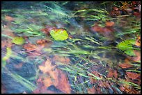 Clear water flowing in creek with grasses and leaves. Olympic National Park ( color)