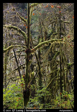 Rain forest, Maple Glades, Quinault. Olympic National Park (color)