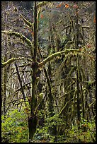 Rain forest, Maple Glades, Quinault. Olympic National Park ( color)