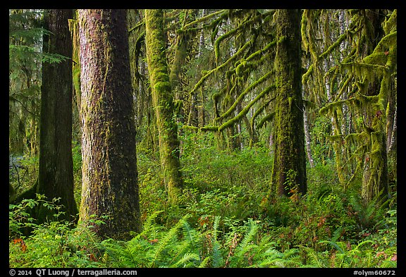 Ferns and moss-covered trees, Maple Glades. Olympic National Park (color)
