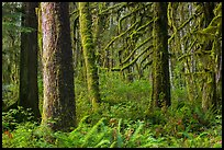 Ferns and moss-covered trees, Maple Glades. Olympic National Park ( color)