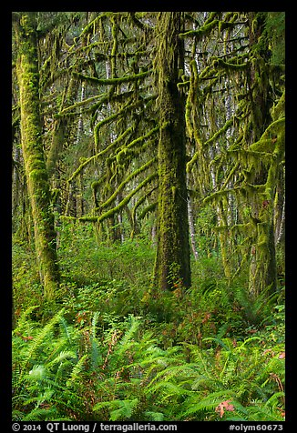 Ferns and moss-covered trees, Quinault. Olympic National Park (color)