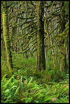 Ferns and moss-covered trees, Quinault. Olympic National Park ( color)