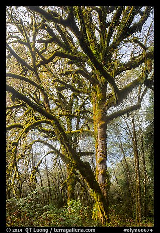 Large bigleaf maple tree. Olympic National Park (color)