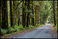 Unpaved road, Lake Quinault North Shore. Olympic National Park ( color)
