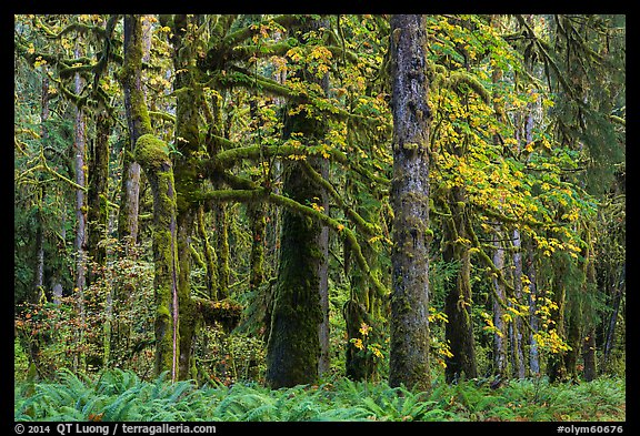 Bigleaf maple and rainforest in autum, Lake Quinault North Shore. Olympic National Park (color)