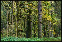 Bigleaf maple and rainforest in autum, Lake Quinault North Shore. Olympic National Park, Washington, USA.