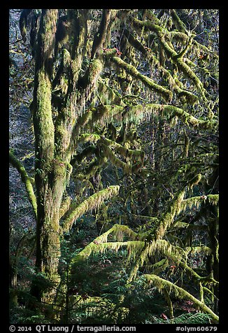 Moss-covered tree and light, Lake Quinault North Shore. Olympic National Park (color)