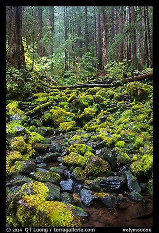 Stream, mossy boulders, and old growth forest, Sol Duc. Olympic National Park (color)
