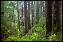 Douglas fir and hemlock forest, Sol Duc valley. Olympic National Park ( color)
