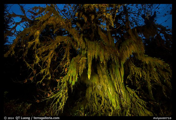 Draping club moss over big leaf maple at night, Hall of Mosses. Olympic National Park (color)