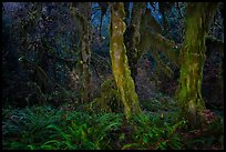 Maple grove at night, Hall of Mosses. Olympic National Park, Washington, USA.