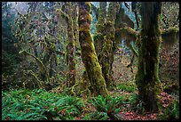 Maple grove in autumn, Hall of Mosses. Olympic National Park ( color)