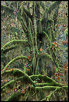 Moss-covered maples in autumn, Hall of Mosses. Olympic National Park, Washington, USA.